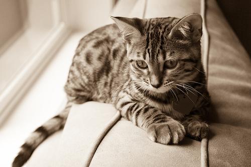 Dị ứng với mèo, các chuyên gia giải thích ra sao?